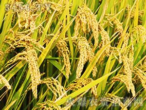 常优粳6号-粳稻种子-中江种业