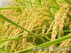 常优5号-粳稻种子-中江种业