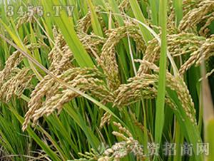 常优4号-粳稻种子-中江种业