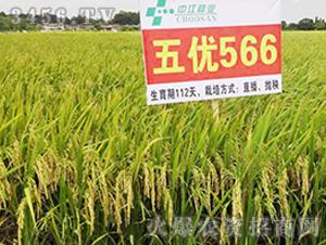 五优566-籼稻种子-中江种业