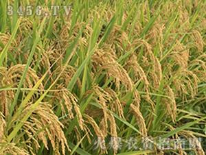 II优728-籼稻种子-中江种业