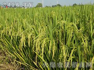 两优8025-籼稻种子-中江种业