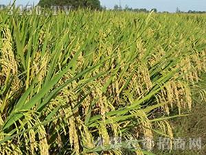盐两优888-籼稻种子-中江种业