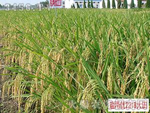 盐两优2218-籼稻种子-中江种业