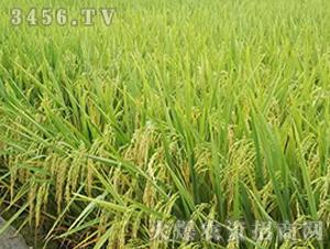 徳两优1103-籼稻种子-中江种业
