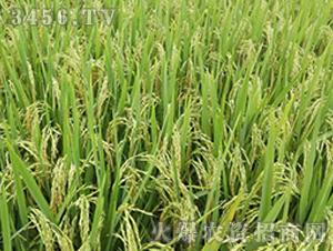 德两优早895-籼稻种子-中江种业