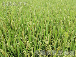 五优6217-籼稻种子-中江种业