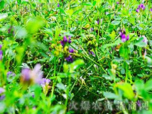 甘农5号-牧草种子-隆丰祥
