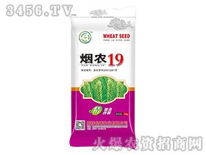 烟农19-小麦种子-晨禾种业