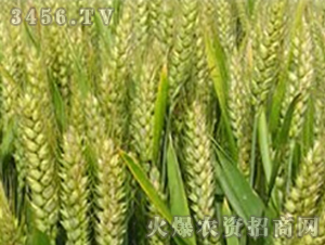 豫麦63-小麦种子-大京九
