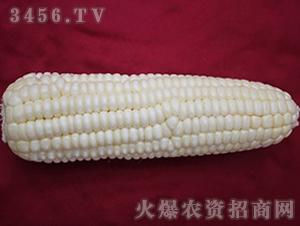 垦白糯2号-玉米种子-农垦良种