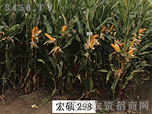 宏硕298-玉米种子-