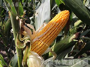 宏硕188-玉米种子-