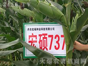 宏硕737-玉米种子-