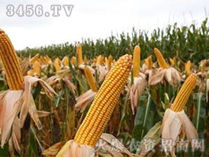 宏硕156-玉米种子-
