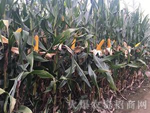 宏硕585-玉米种子-