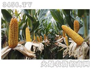 宏途757-玉米种子-宏硕种业