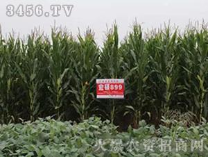 宏硕899-玉米种子-宏硕种业
