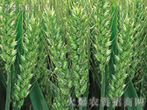 众麦1号-小麦种子-顺鑫大众