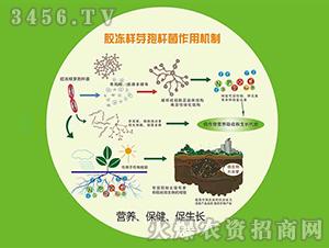 土壤改良剂菌粉—胶冻样芽孢杆菌-碧蓝生物