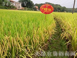 广8优165成熟-水稻种子-兆和