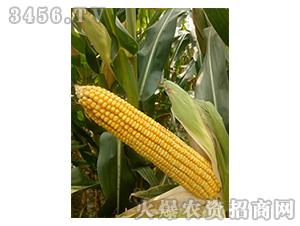 玉米种子实物图