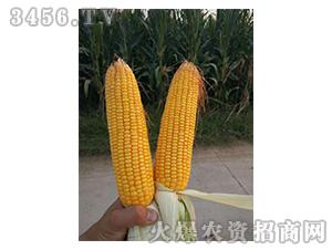 玉米种子实物图2