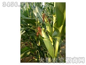 玉米种子实物图3