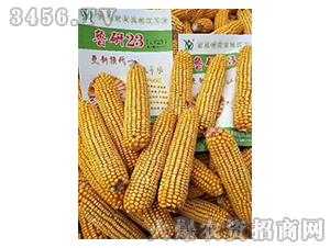 鲁研23玉米种子实物图