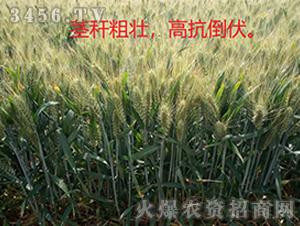 小麦种效果反馈图