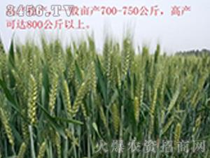 小麦种效果反馈图4