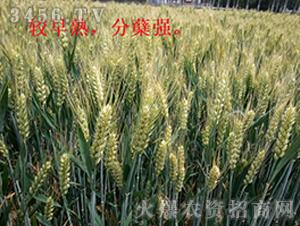 小麦种效果反馈图7