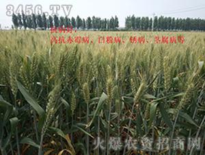 小麦种效果反馈图8