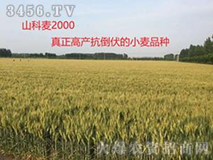 山科麦2000—真正高产抗倒伏的小麦品种
