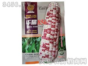 彩甜糯856-玉米种子-华为种业