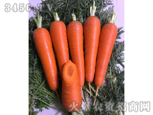 鼎红1号-胡萝卜种子-禾圣瑞