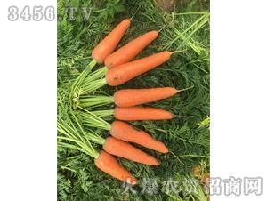 鼎红2号-胡萝卜种子-禾圣瑞