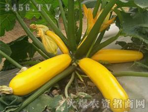 特色西葫芦种子-禾圣瑞