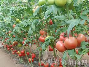 粉宝-西红柿种子-禾圣瑞