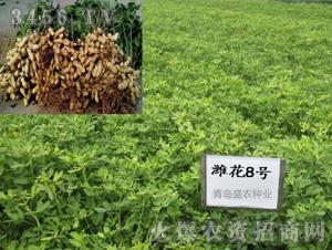 潍花8号-花生种子-盛农种业