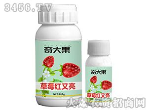草莓红又亮-奇大果-星泉农业