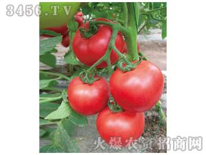 西红柿种子-金赤果-满天红日