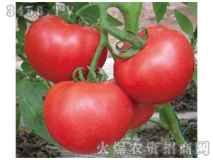 西红柿种子-宾利王-满天红日