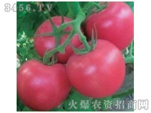 西红柿种子-金光闪闪-满天红日