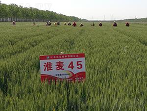 淮麦45-小麦种子-农发种业