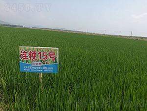 连粳15号(分蘖期)-小麦种子-农发种业
