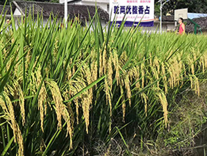 乾两优馥香占-水稻种子-恒茂农业