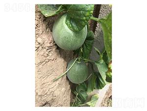 寿研绿色经典-甜瓜种子