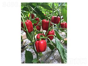 红玉-辣椒种子-凌广农