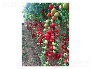 红色樱桃番茄-番茄种子